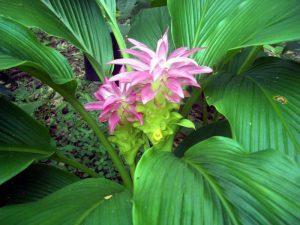 Planta de cúrcuma en flor