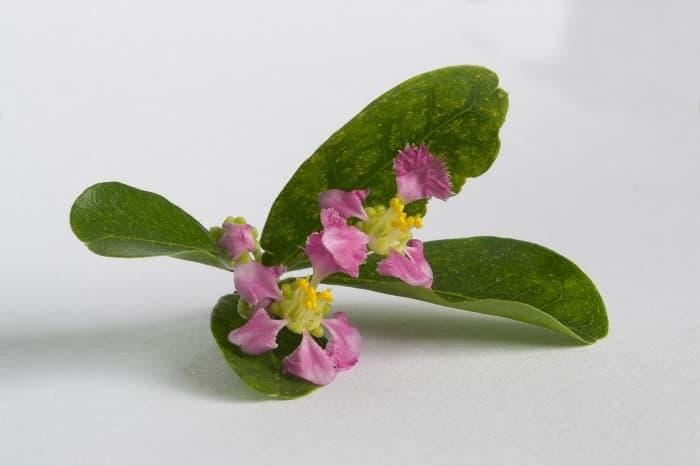 Flores de acerola