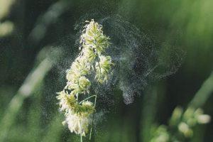 Cúrcuma y la alergia al polen