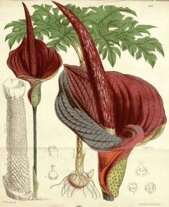 Dibujo Amorphophallus konjac