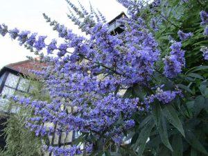 Ramificación con flores sauzgatillo