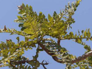 Planta de boswelia