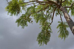Planta de boswellia serrata