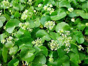 Hojas y flores de la centella asiática