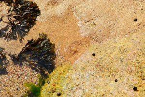 Alga fucus y espirulina en la playa