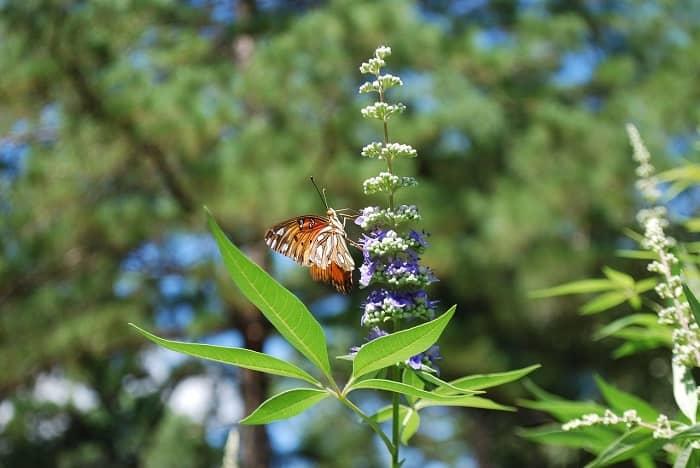 Flor con mariposa de sauzgatillo
