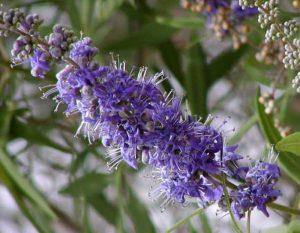 Flores de Vitex agnus castus